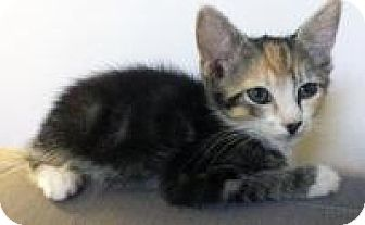 """Domestic Shorthair Kitten for adoption in Mission Viejo, California - Aami """"powerful girl"""""""