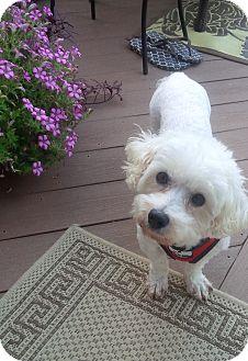 Bichon Frise Mix Dog for adoption in Honeoye Falls, New York - Margo
