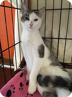 Domestic Shorthair Kitten for adoption in Middletown, New York - Moonstone