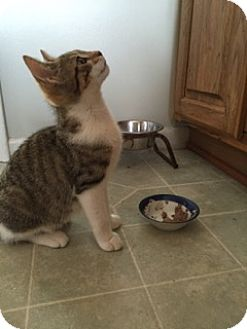 Domestic Mediumhair Kitten for adoption in Warren, Michigan - Zimba akaLittle Boy 1