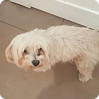 Maltese Mix Dog for adoption in Valencia, California - Spotlight