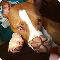 Hound (Unknown Type)/Boxer Mix Dog for adoption in Glastonbury, Connecticut - Kona~meet me!