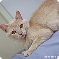 Somali Cat for adoption in Los Angeles, California - Felicity