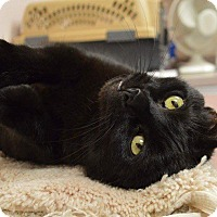 Domestic Shorthair Cat for adoption in Middletown, New York - Lucy