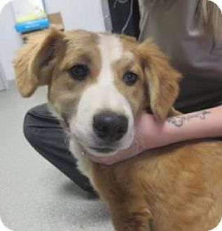 Australian Shepherd/Collie Mix Puppy for adoption in Lincolnton, North Carolina - Trixie