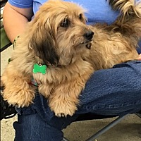 Dachshund/Maltese Mix Dog for adoption in West Los Angeles, California - Murray