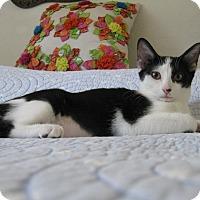 Domestic Shorthair Kitten for adoption in Brea, California - BEI BEI