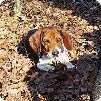 Adopt A Pet :: LINUS - Lincolndale, NY