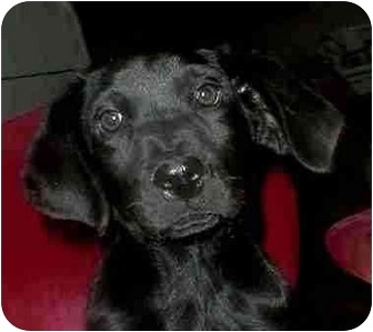 Gordon Setter Rescue Ohio Mel | Adopted Puppy | ...