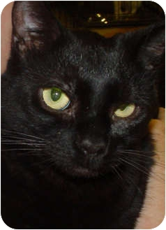 Domestic Shorthair Cat for adoption in Watkinsville, Georgia - Houdini