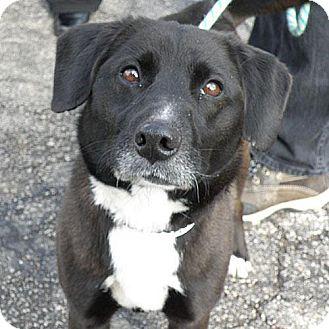 Oreo Adopted Dog Elyria Oh Border Collie Norwegian