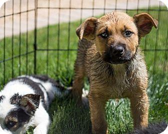 Shepherd (Unknown Type)/Anatolian Shepherd Mix Puppy for adoption in Phoenix, Arizona - BENTLEY
