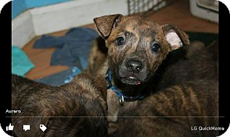 Plott Hound/Boxer Mix Puppy for adoption in North Brunswick, New Jersey - Aoura