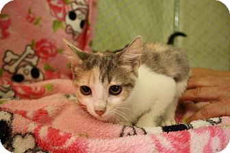 Domestic Shorthair Kitten for adoption in Fountain Hills, Arizona - POPPY