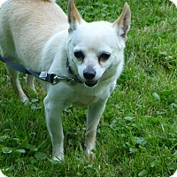 Chihuahua/Terrier (Unknown Type, Small) Mix Dog for adoption in Wyanet, Illinois - Sugar