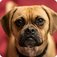 Adopt A Pet :: BEAMER - Nashville, TN