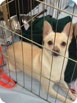 Chihuahua Mix Dog for adoption in Seattle, Washington - Spike