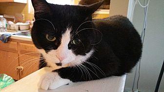 Domestic Shorthair Cat for adoption in Philadelphia, Pennsylvania - Porter