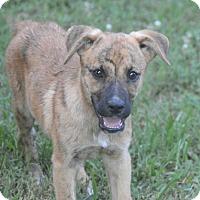 Adopt A Pet :: Joe Boxer~ meet me! - Glastonbury, CT