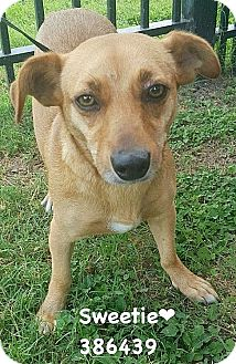 Chihuahua/Terrier (Unknown Type, Medium) Mix Dog for adoption in San Antonio, Texas - 386439 Sweetie