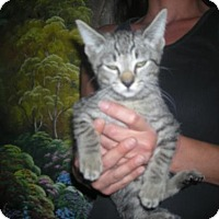 Domestic Shorthair Kitten for adoption in Moreno Valley, California - the 4th
