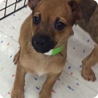 Adopt A Pet :: Tetris - Fort Collins, CO
