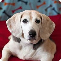 Beagle Mix Dog for adoption in Manchester, Connecticut - Bonnie