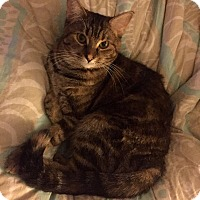 Domestic Shorthair Cat for adoption in Harrison, New York - Clarissa