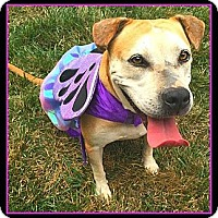 American Bulldog/Labrador Retriever Mix Dog for adoption in Richmond, Virginia - Princess Elsa