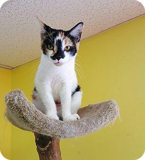 "Calico Cat for adoption in Scottsburg, Indiana - ""  Sissy """