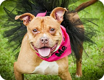 Bull Terrier/Boxer Mix Dog for adoption in Plano, Texas - Willow