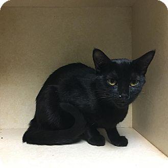 Domestic Shorthair Kitten for adoption in Westminster, California - Bryar