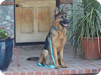 German Shepherd Dog Dog for adoption in San Diego, California - Rex