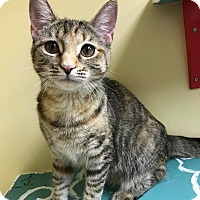 Adopt A Pet :: ShyShy - Maryville, MO