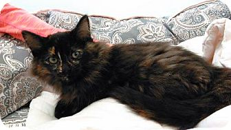 Domestic Longhair Kitten for adoption in Cloquet, Minnesota - Felicity
