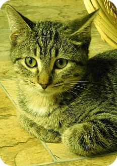 Domestic Shorthair Kitten for adoption in Montgomery City, Missouri - Ashe