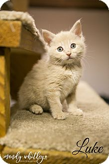 Domestic Mediumhair Kitten for adoption in Columbia, Tennessee - Luke