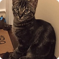Adopt A Pet :: BlueCollarCat - Dallas, TX