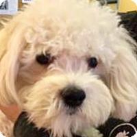Adopt A Pet :: Simon - Oswego, IL
