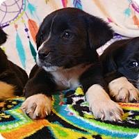 Adopt A Pet :: Hydra - Nashua, NH