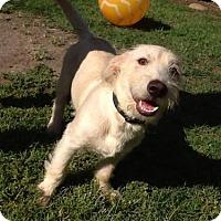 Adopt A Pet :: Boomer - Lemoore, CA