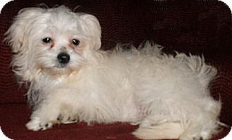 Shih Tzu/Maltese Mix Puppy for adoption in Mooy, Alabama - Kelly