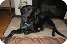 Labrador Retriever Mix Dog for adoption in Lewisville, Indiana - Cruise