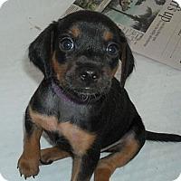 Adopt A Pet :: Chopin - Novi, MI