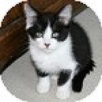 Adopt A Pet :: Togepi - Vancouver, BC
