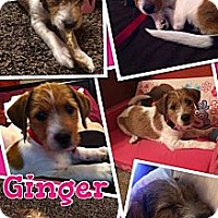 Adopt A Pet :: Ginger - Somers, CT
