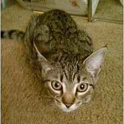 Photo 1 - Domestic Shorthair Kitten for adoption in Trexlertown, Pennsylvania - Tillie- New pictures!
