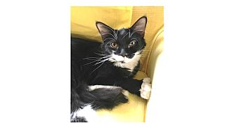 Domestic Mediumhair Cat for adoption in Ortonville, Michigan - Rhonda