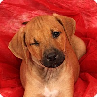 Adopt A Pet :: Tristan BoxLab - St. Louis, MO
