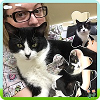 Domestic Shorthair Cat for adoption in Rye, New York - Binky